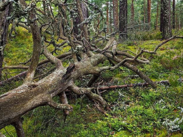 Große umgestürzte baumwurzel bedeckt mit dickem moos. jungfrau flora von wäldern. geheimnisvolle waldatmosphäre. mystischer regenwald. tief im wald. gestapelter blitz alter baum.