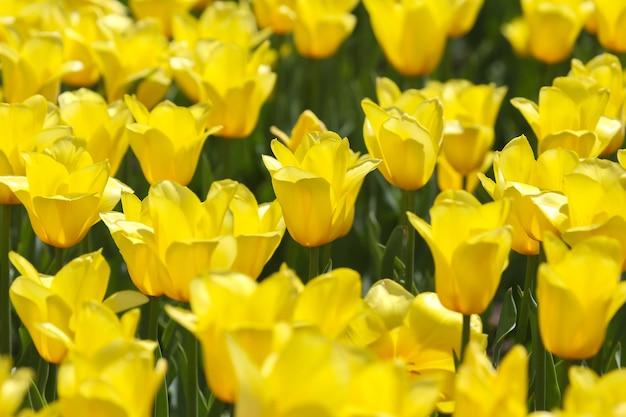Große wiese mit frisch blühenden gelben tulpen hautnah
