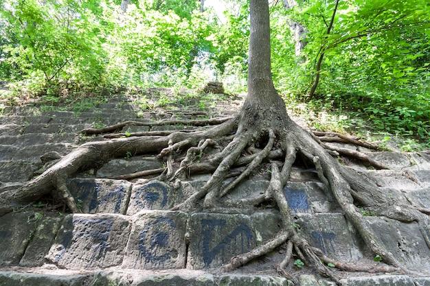 Große wurzeln eines alten baumes auf den steinen. schönheit in der natur.