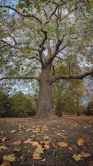 Großer ahorn im hyde park im herbst, london
