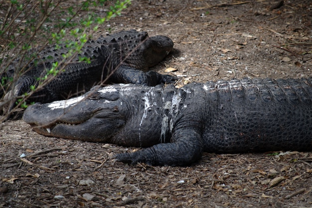 Großer amerikanischer alligator bedeckt mit vogelkot