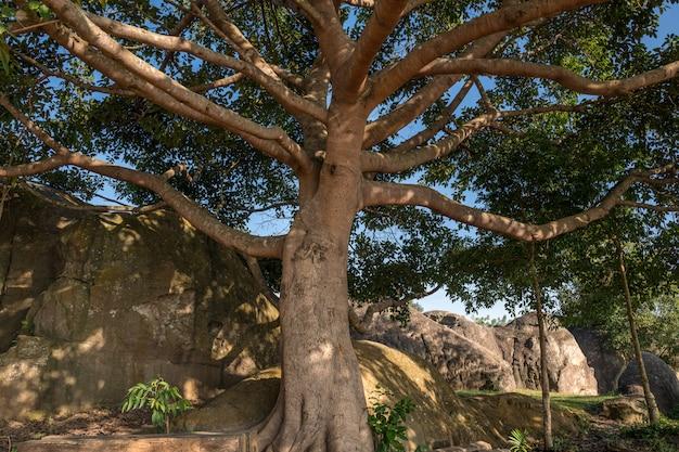 Großer banyanbaum im naturpark, thailand