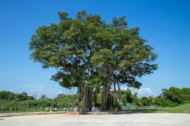 Großer banyanbaum im san chao pho ongkharak tutelary-schrein