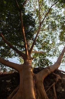 Großer banyanbaum mit wurzeln im felsen.