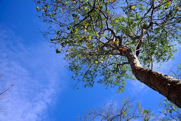 Großer baum im frühjahr am blauen himmel