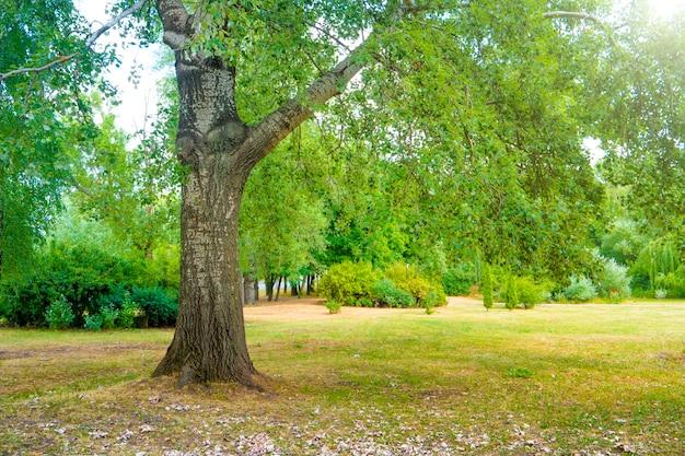 Großer baum im grünen sonnigen park