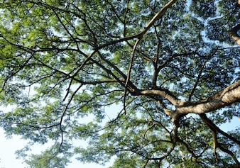 Großer Baumast in der Natur, Thailand