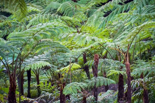 Großer baumfarn auf regenwald am siriphum-wasserfall an nationalpark doi inthanon, chiang mai, thailand.