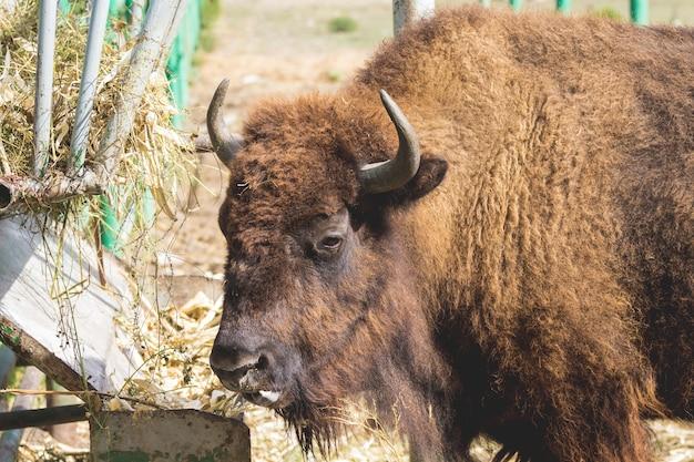 Großer brauner bison in der nähe des futterautomaten im reservat