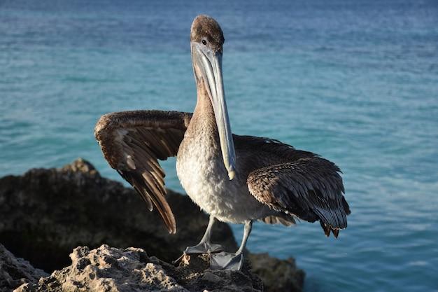 Großer brauner pelikan, der auf einem felsen in aruba aufwirft.