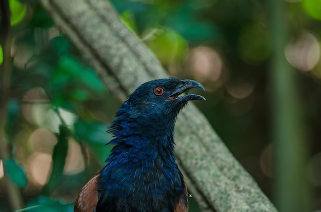 Großer coucal (centropus sinensis)