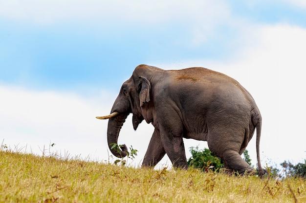 Großer elefant in einer grünen wiese im khao yai nationalpark