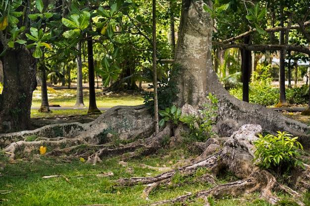 Großer ficusbaum im botanischen garten pamplemousses, mauritius.