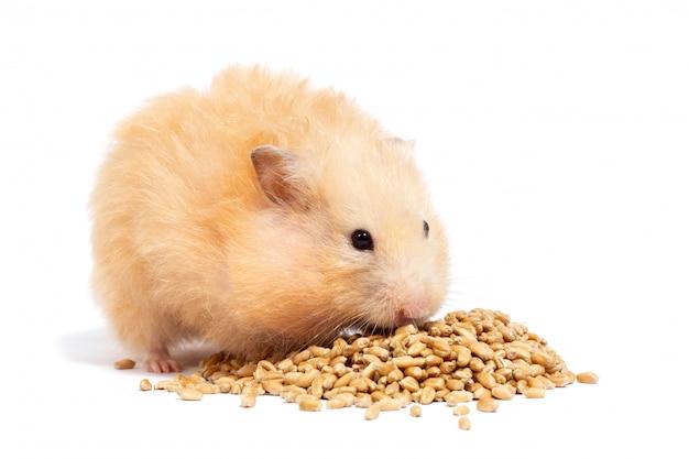 Großer flauschiger roter hamster isst getreide, isoliert