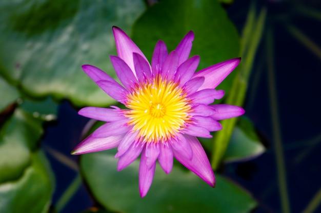 Großer gelber und blauer lotosabschluß oben.
