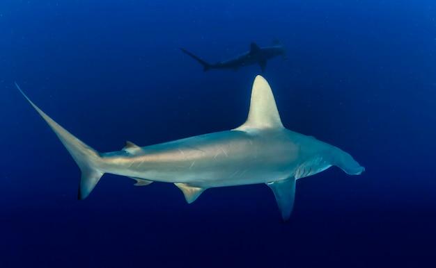 Großer hammerhai. schule der hammerhaie, die im roten meer schwimmen. haie in freier wildbahn. meereslebewesen unter wasser im blauen ozean. beobachtung tierwelt. tauchabenteuer im roten meer, küste afrikas