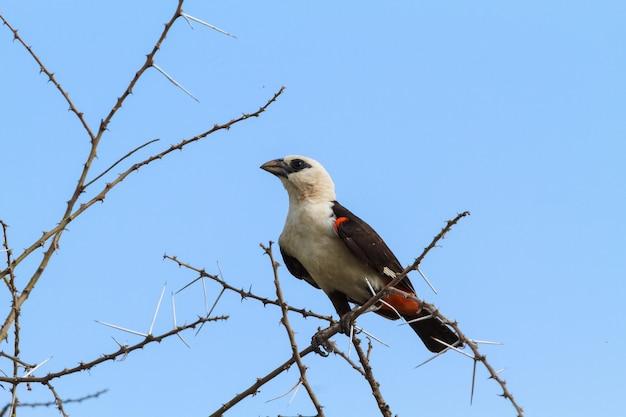 Großer hangbird auf einem baum. tarangire, tansania