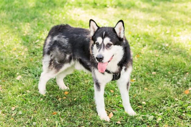 Großer heiserer hund, der auf grünem gras im park bleibt. schwarzweiss-hund. herbst
