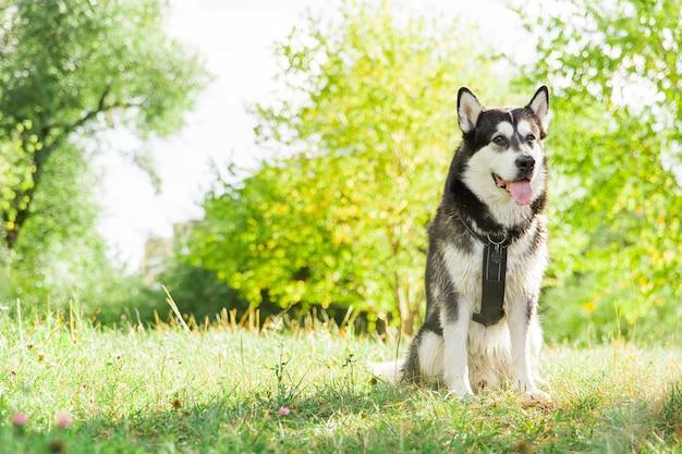 Großer heiserer hund im park. schwarzweiss-hund. husky hundegesicht. hund im wald
