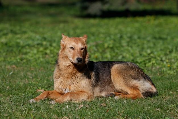 Großer hund, der auf dem gras liegt. straßenhund. ein nicht verwandtes tier. freund des menschen. ein einsamer hund. ein hund ohne stammbaum