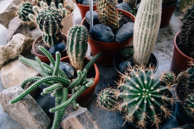 Großer kaktus in den töpfen. lustiger kaktus für hauptdekoration. flauschiger kaktus mit langen nadeln. schönes innenobjekt. kaktus zwischen steinen. kakteen in einem blumentopf.