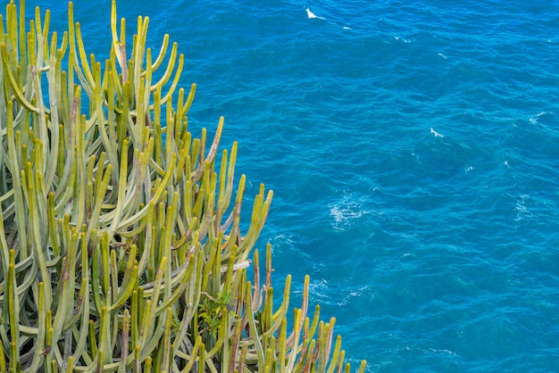 Großer kaktus mit dornen, die auf der klippe über dem ozean wachsen. meer mit kleinen wellen im hintergrund