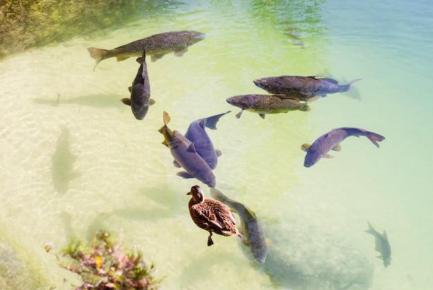 Großer karpfen schwimmt im see und ente