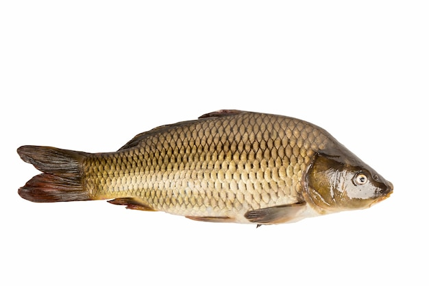 Großer karpfenfisch lokalisiert auf weißem hintergrund.
