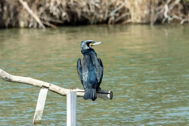 Großer kormoran, auf barsch, der in der sonne trocknet, im see der albufera von mallorca,