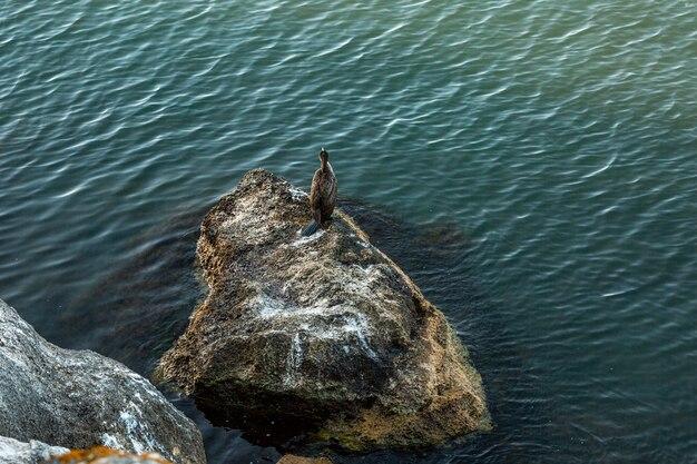 Großer kormoran phalacrocorax carbo, auch bekannt als der große schwarze kormoran, sitzt auf einer klippe am meer. von oben betrachten