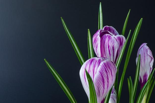 Großer krokus crocus sativus c. vernus blüht mit lila streifen auf einem schwarzen hintergrund. für postkarten, grüße zum geburtstag, muttertag, valentinstag. nahansicht