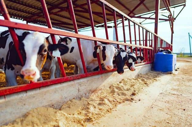 Großer kuhstall mit milchigen kühen auf der farm
