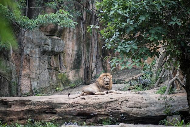 Großer löwe, der auf dem stein beim tagesstillstehen liegt. tiere konzept.