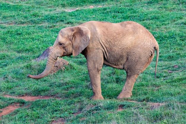 Großer männlicher elefant auf einer wiese