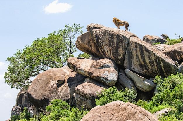 Großer männlicher löwe auf einem großen felsen in der wildnis
