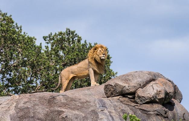 Großer männlicher löwe auf einem großen felsen.