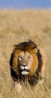Großer männlicher löwe mit herrlicher mähne geht auf savanne. nationalpark. kenia. tansania. masai mara. serengeti.