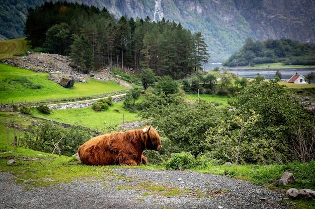 Großer moschusochse in seinem lebensraum, naturlandschaft im hintergrund. norwegisches tier