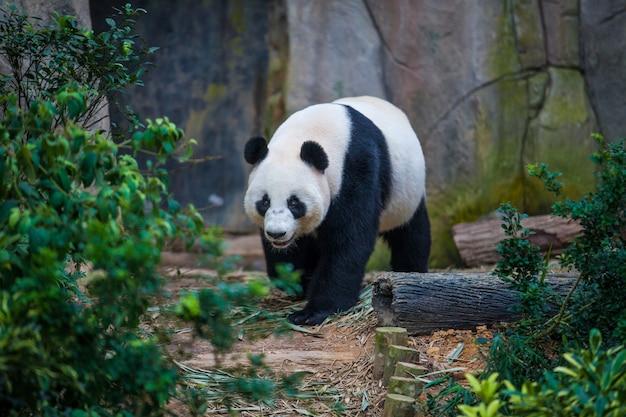 Großer panda, der unter grünpflanzen geht
