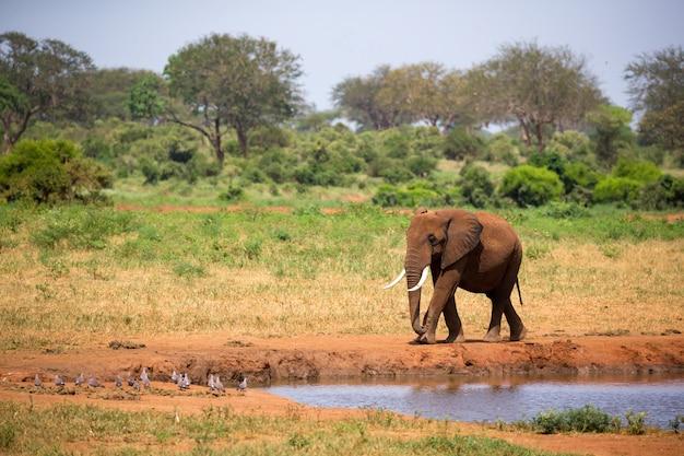 Großer roter elefant geht am ufer eines wasserlochs