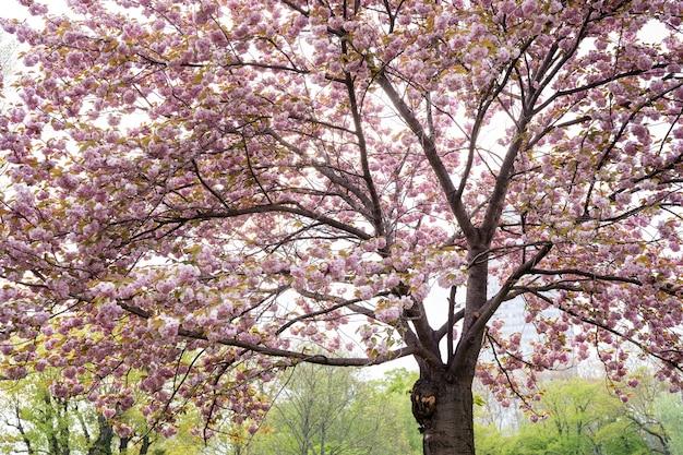 Großer sakura-baum in voller blüte mit bunten rosa blüten