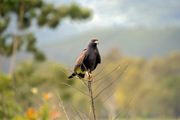 Großer schwarzer falke, urubitinga urubitinga oder gaviao preto, auf portugiesisch, thront auf trockenen zweigen. bundesstaat sao paulo, brasilien