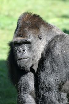 Großer schwarzer gorilla