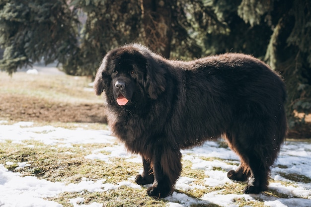 Großer schwarzer hund draußen im park