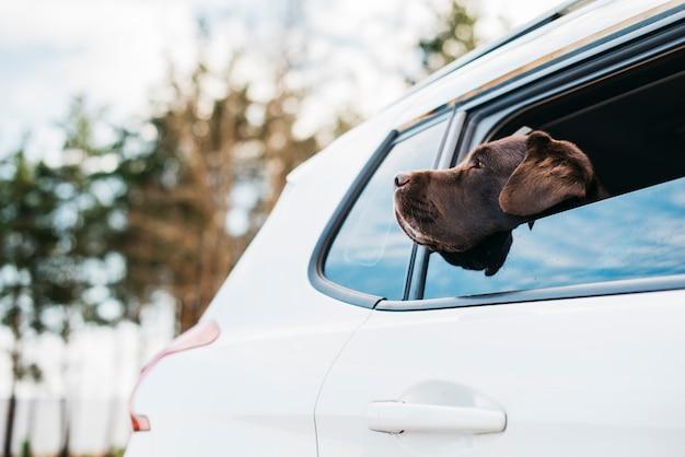Großer schwarzer hund im auto