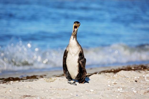 Großer schwarzer kormoran, phalacrocorax carb, trockene federn an einem meeresstrand mit offenem schnabel. nahansicht.