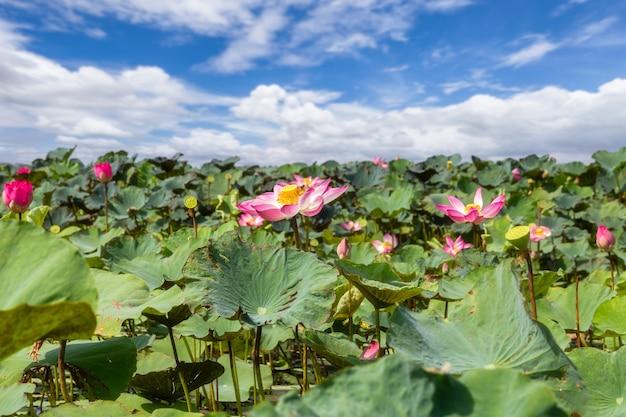 Großer see voller seerosen von talay noi wetlands, phatthalung, thailand