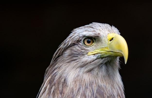 Großer seeadler, porträt eines vogels