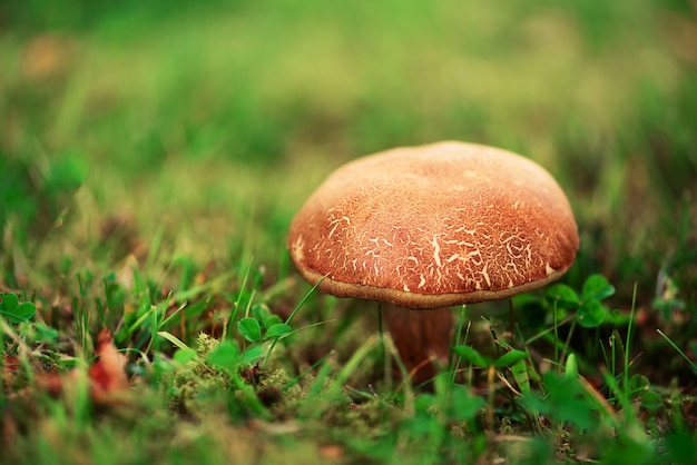 Großer steinpilz im wald, essbarer pilzsteinpilz mit sonnenleckeffekt. gefundene pilze unter einem baum beim pilzen