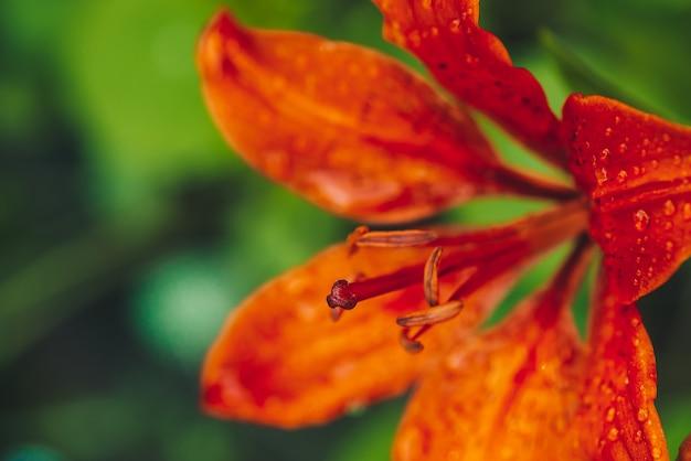 Großer stempel und staubgefässe der blühenden blume im makro